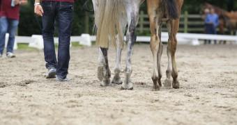 Limburgse Veulenveiling 2012 © DigiShots